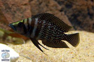 Altolamprologus calvus black Congo F1