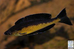 Cyprichromis microlepidotus Kavala F1 – NEW!